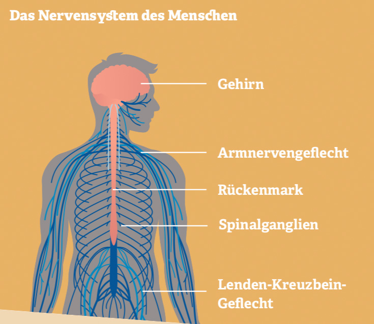 Grafik: Das Nervensystem des Menschen