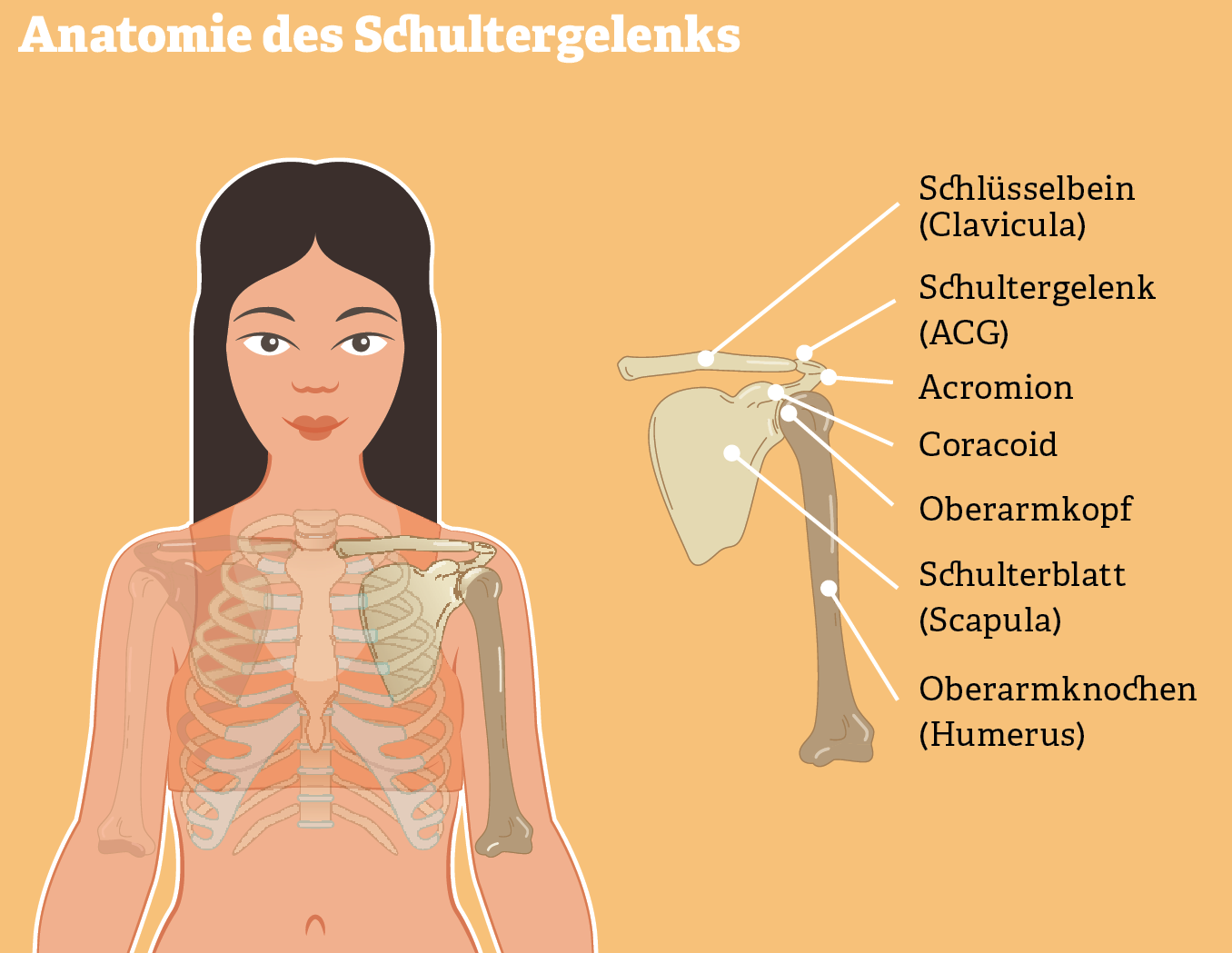 Grafik: Anatomie des Schultergelenks