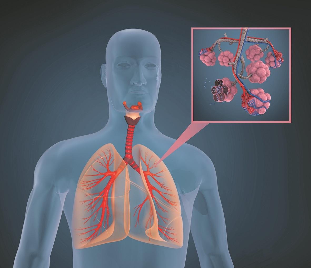 Darstellung des menschlichen Körpers, Schwerpunkt auf die Lunge.