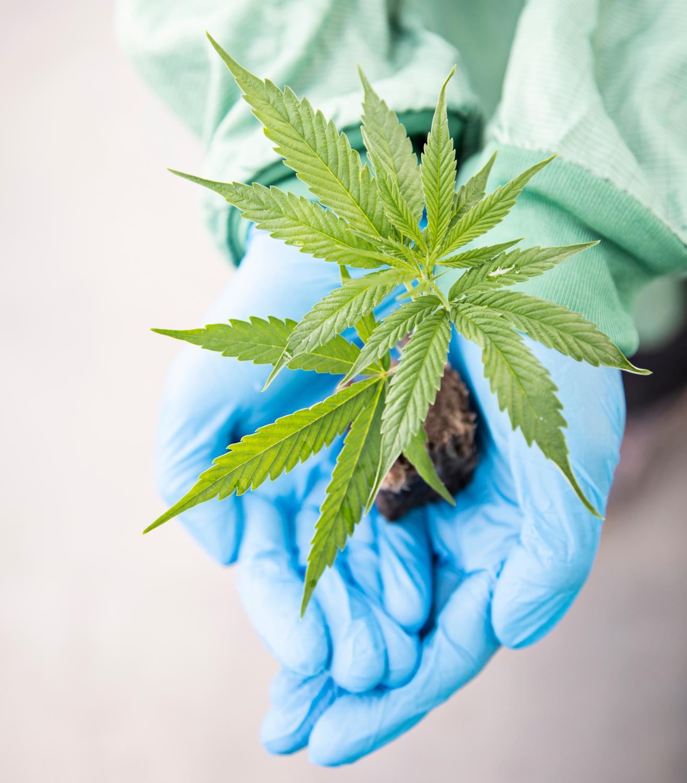 Cannabis-Pflanzen